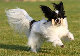 Dog Obedience Dumbbells
